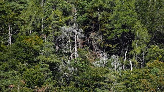 Ein Wald mit mehreren abgestorbenen Föhren bei Tamins in Graubünden.