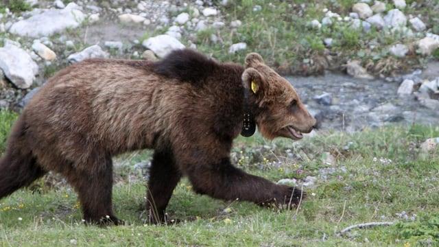 Braunbär im Kanton Graubünden