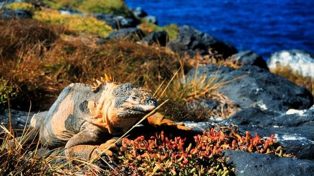Echse auf den Galapagos-Inseln