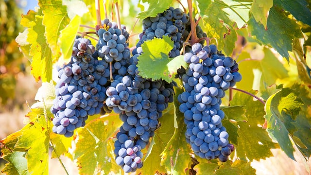 Weinrebe mit blauben Trauben