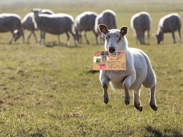 Schaf mit Briefcouvert