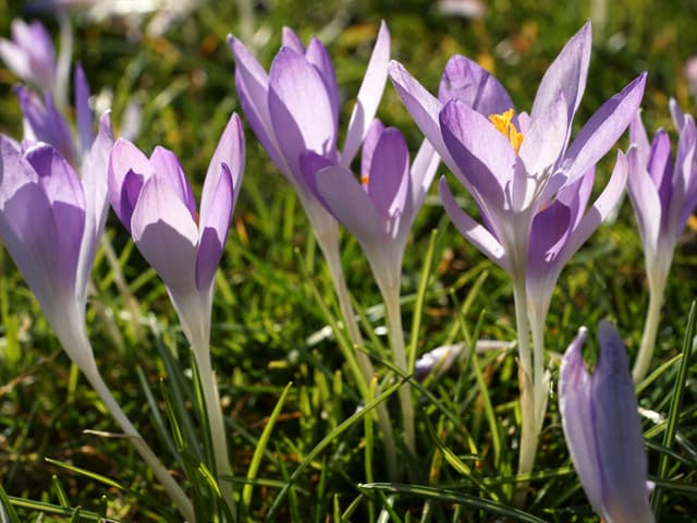 Blühende Korkusse in violett