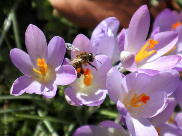 Biene an einer lilafarbenen Krokusblüte.