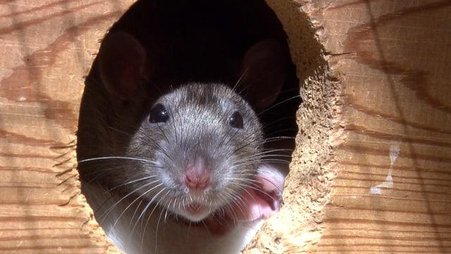 Eine Ratte schaut aus einem Loch.