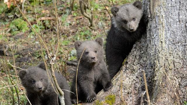 Drei kleine Bären