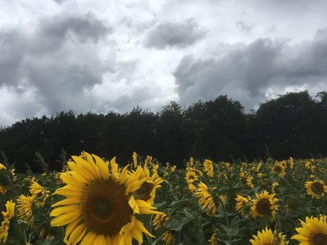 Sonneblume vor den grauen Wolken