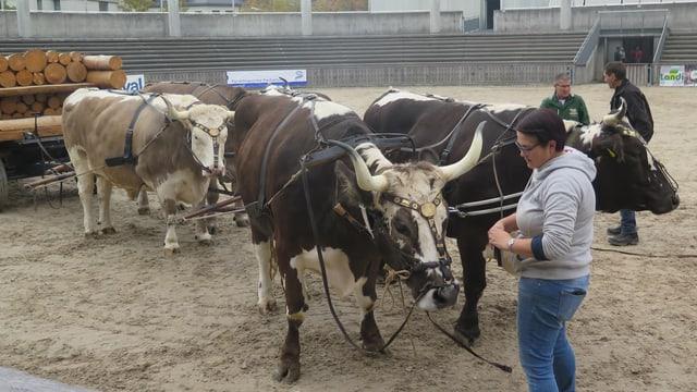 Training mit Ochsenkarren in der Olmaarena.