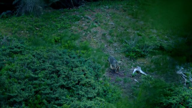 Wolf läuft