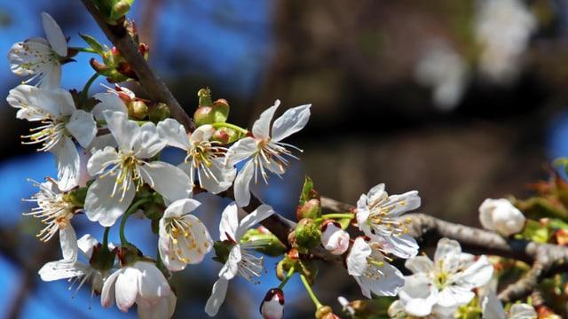 Blütenpracht bei Grüningen/ZH.