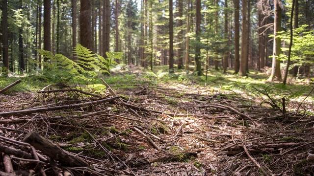 Ein Schweizer Wald.
