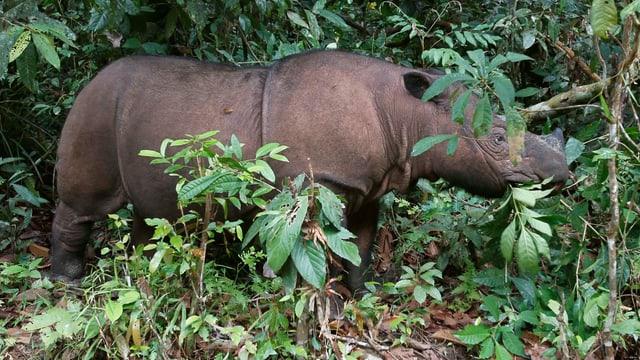 Purtret d'in rinoceros da l'Indonesia.
