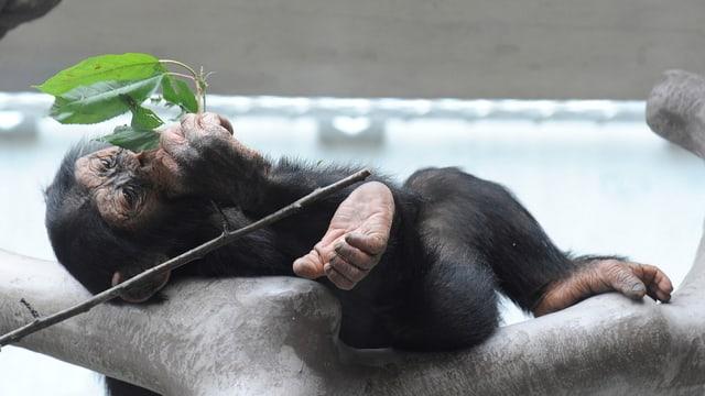 Affe im Zoo Basel