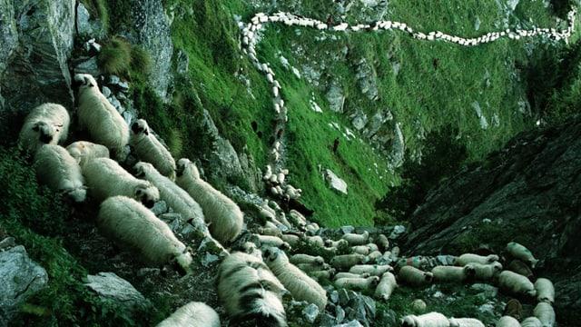 2000 Schafe ziehen von der Sommeralp zuhinterst am Aletschgletscher zurueck nach Belalp.