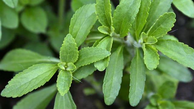 Mehr zu Stevia