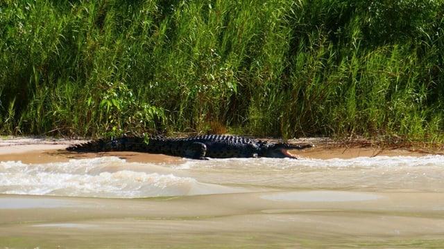 Krokodil liegt am Strand.