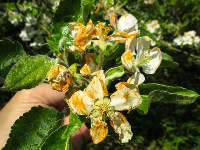 Die ehemaligen weissen Apfelblüten haben eine bräunliche Farbe angenommen. Eine Nahaufnahme.