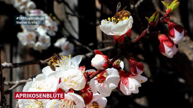 Aprikosenblüte ganz rosa. Die Bienen konsumieren bereits fleissig Aprikosennektar.