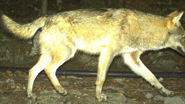 Ein Wolf, fotografiert durch eine Fotofalle.