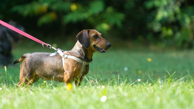 Hund mit Leine auf einer Wiese