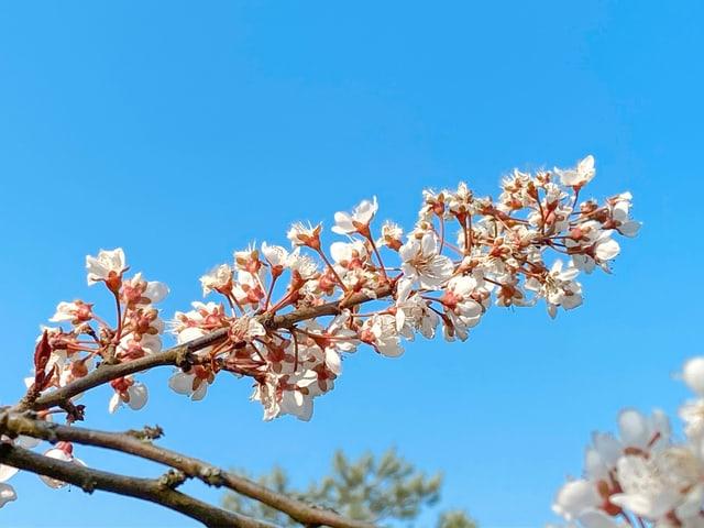 Pflaumenblüten vor blauem Himmel