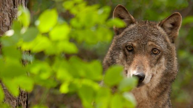 In Isenthal (UR) hat ein Wolf acht Schafe gerissen.