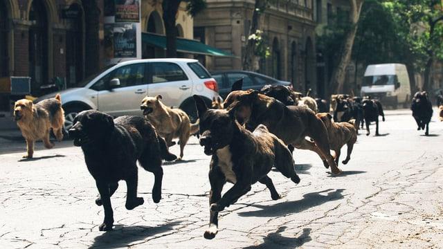 Ein Hunderudel rennt auf offener Strasse,