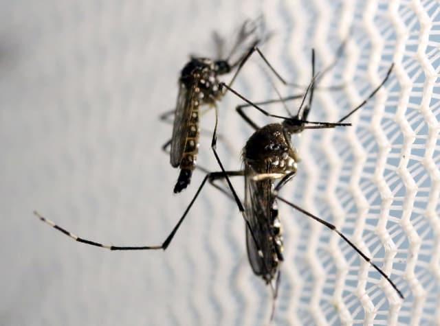 Zu sehen sind Mosquitos.