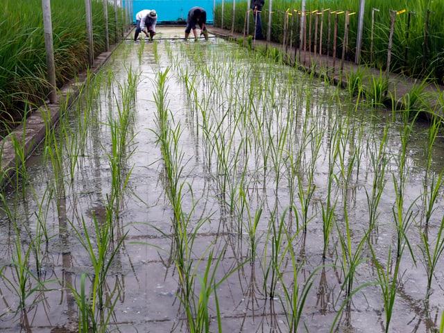 Setzlinge von Golden-Rice-Pflanzen am Reisforschungs-Institut in Los Banos auf den Philippinen.