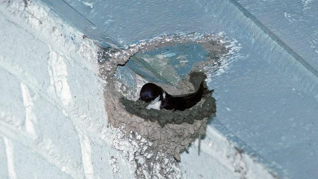 Mehlschwalbe beim Nestbau in einer Gebäudenische.