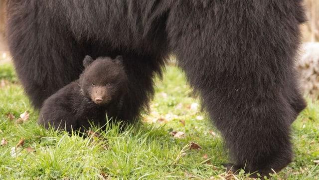 Kleiner Bär und grosser Bär.