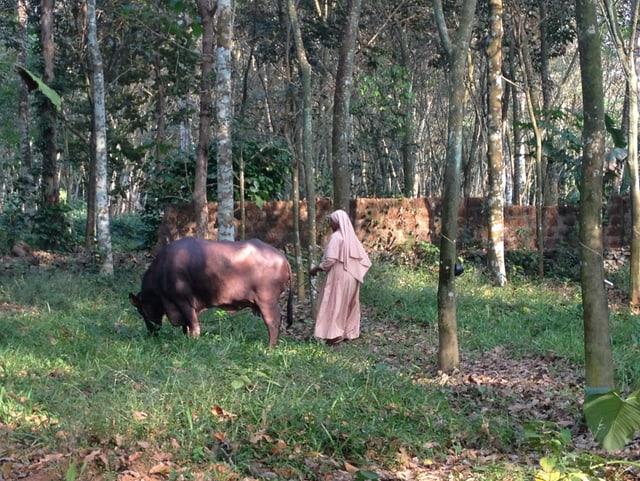 Eine Nonne mit einer Kuh