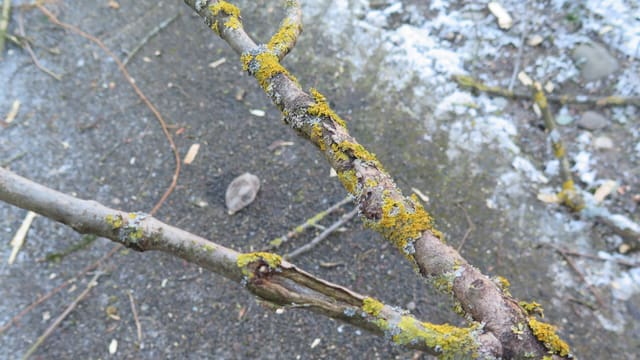 Zweig eines Baumes mit Wucherungen.