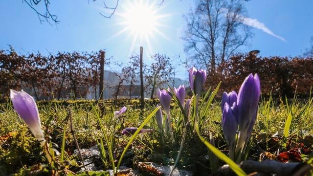 Krokusse an der Frühlingssonne