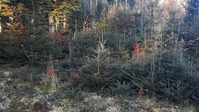 Rottannen im Wald