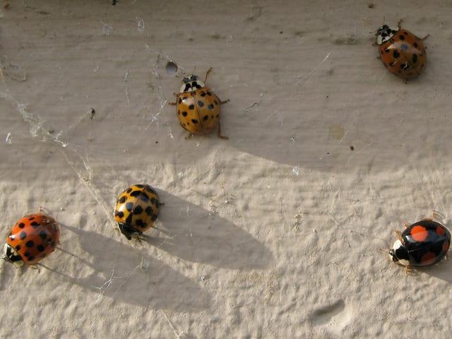 Marienkäfer an Wand