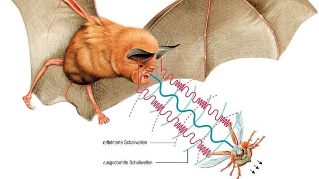 Grafik: Mittels Schallwellen findet eine Fledermaus ihre Beute.