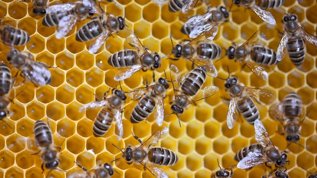 Bienen in der Wabe.
