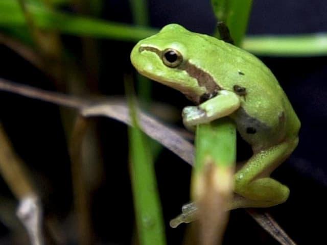 Ein Laubfrosch auf einer Pflanze, aufgenommen im Reusstal, aber nicht im Märimoos.