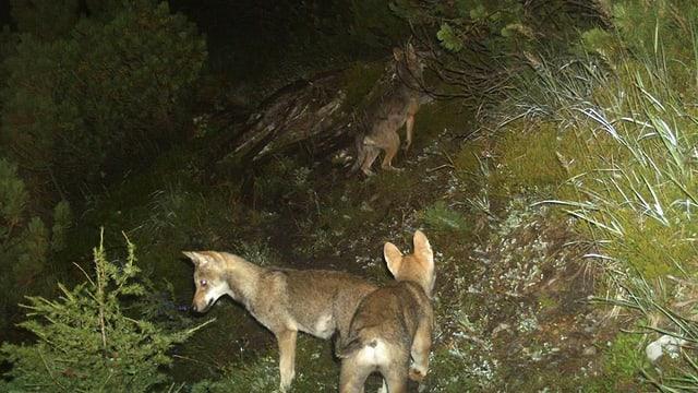 Junge Wölfe in einer Nachtaufnahme.
