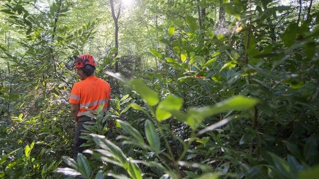 Kirschlorbeer wird aus dem Wald entfernt