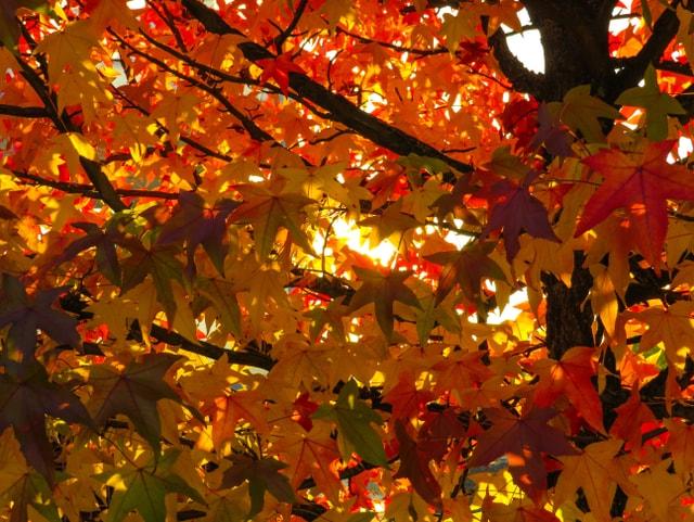 Rote und gelbe Bläter am Baum, die Sonne scheint hindurch.