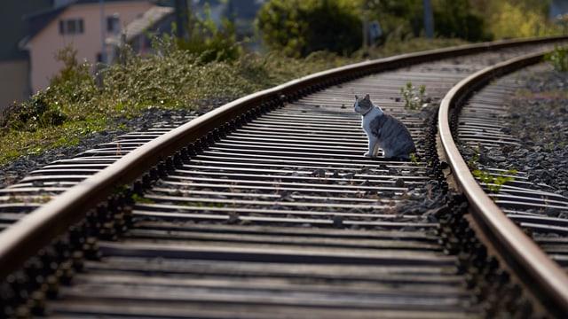 Schienen mit einer Katze auf dem Trassee.