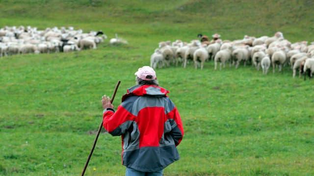Hirt bei einer Schafherde