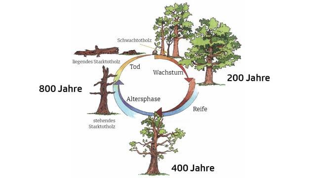Schema des Lebenszyklus einer Eiche.