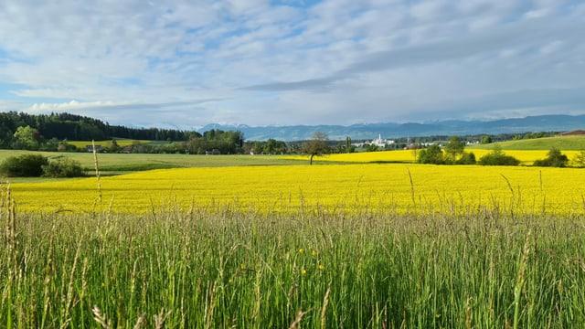 Blick auf ein Rapsfeld, darüber teilweise blauer Himmel.