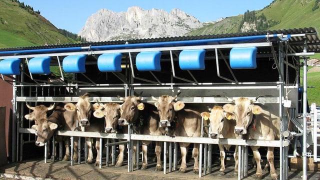 Kühe beim Melken.