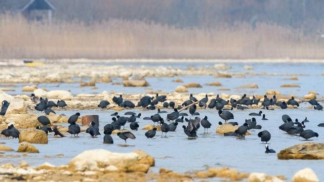 Ganze Schwärme von Wasservögeln können von Stand Up Paddlern aufgescheucht werden.