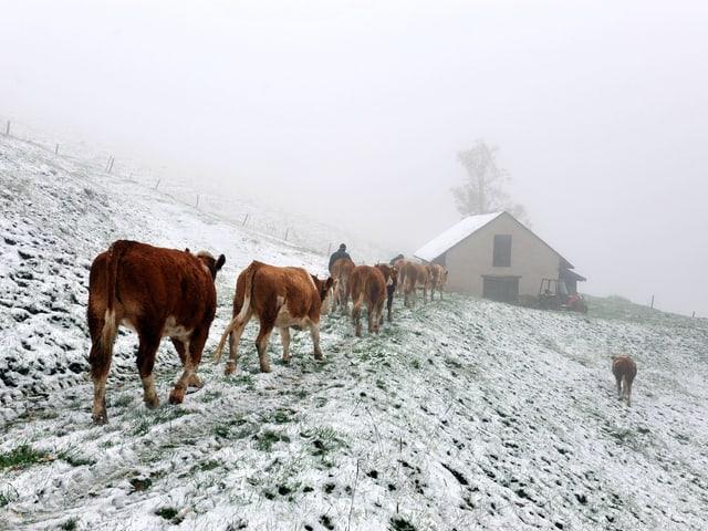 Kühe in einer verschneiten Landschaft laufen Richtung Stall.