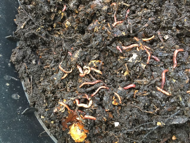 Würmer im Kompost.