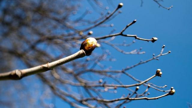 Knospe eines Baumes